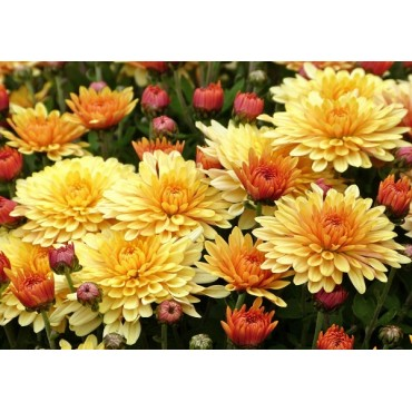 Хризантема многолетняя рыжая