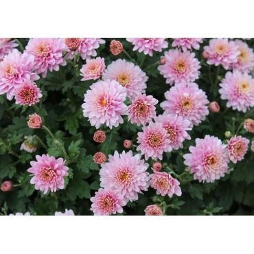 Хризантема многолетняя cиреневая