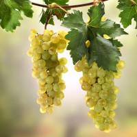 Виноград и Актинидия