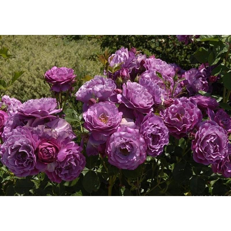Роза штамб Лавендер Джувел