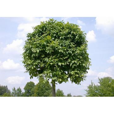 Ясень обыкновенный шаровидный Нана штамб 150-170