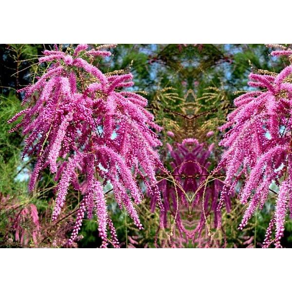 Тамарикс гребенщик розовый - Юное растение