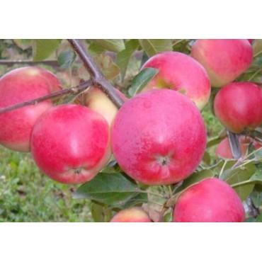 черенки Привой яблонь Сорта